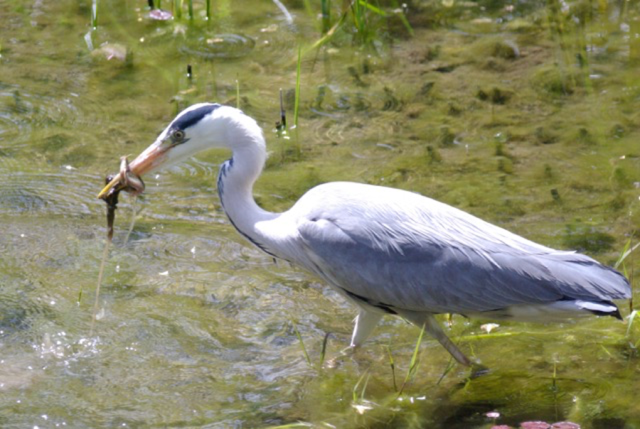 A heron looking for food