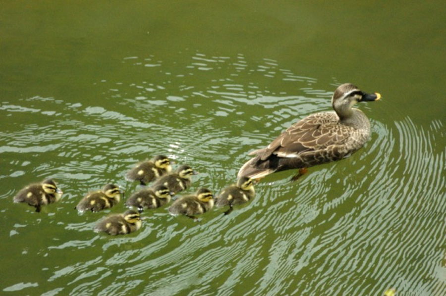 Spot-billed duck and chicks